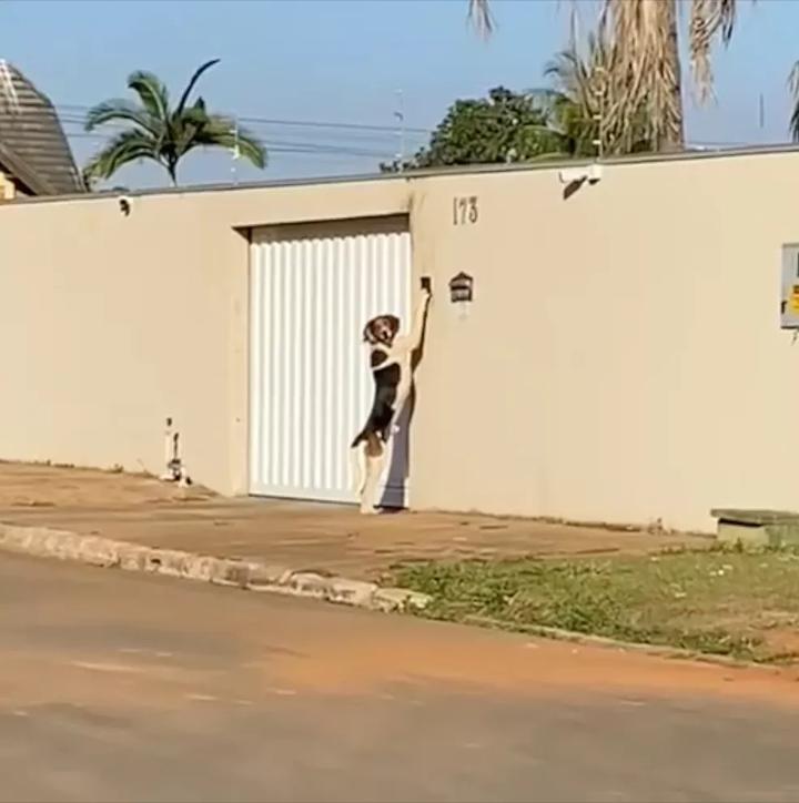 Cão toca campainha para entrar em casa e surpreende donos