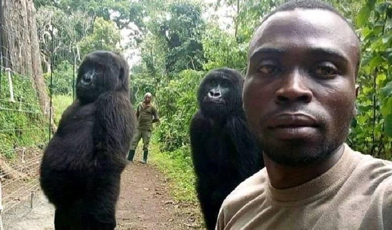 BBC: Relação com gorilas no Congo